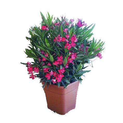 oleandro in vaso pianta di oleandro in vaso 248 28 cespuglio in vendita su