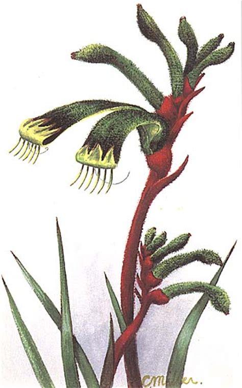 anigozanthos manglesii