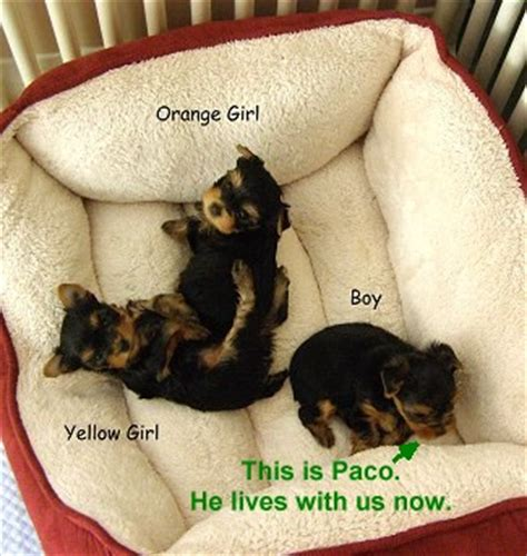 2 month yorkie puppy shooter s listing of yorkie breeders in the western united states