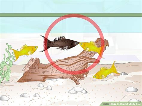 Molly Fish Pics how to breed molly fish with pictures wikihow