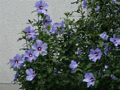 hibiscus syriacus blue bird 3363 hibiscus syriacus hibisco azul 191 lo puedo hibridar con