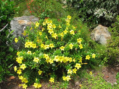 Plants Flowers 187 Allamanda Aubletii Garden Bushes With Flowers