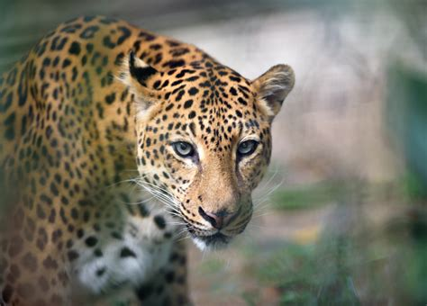all about jaguars facts 10 roaring facts about jaguars mental floss