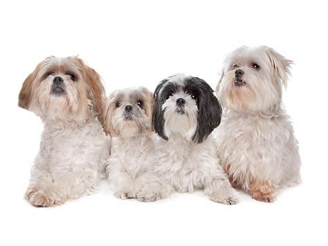 what can i give my for diarrhea causes of diarrhea shih tzu and what can i give for it