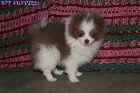 pomeranian breeders in missouri 25 best ideas about white pomeranian puppies on white pomeranian