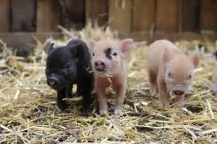mini pig keeping twickermum