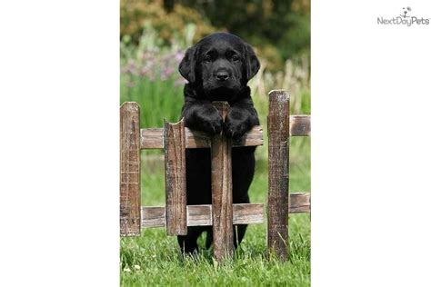golden retriever puppies for sale near cincinnati ohio labrador retriever puppy for sale near cincinnati ohio 95665cb0 82c1