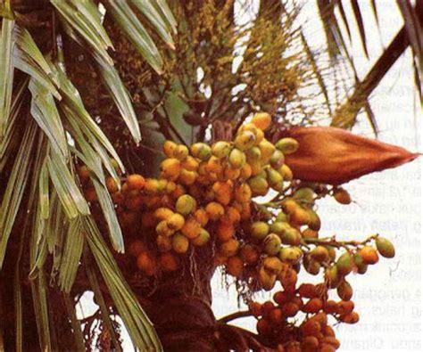Pinang Kering Jambe tanaman dan obat pinang