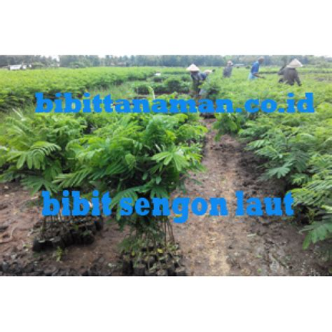 Bibit Sengon Murah jual bibit tanaman unggul murah di purworejo