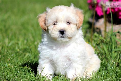 shihpoo puppy cut pictures of puppy cuts for shih poos hairstylegalleries com