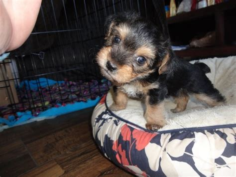 yorkie poo puppies for sale nc view ad yorkie poo puppy for sale carolina huntersville usa