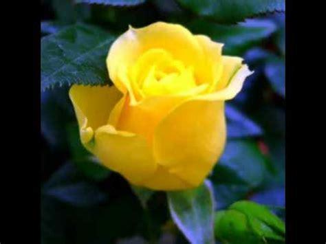 imagenes de rosas i flores flores y rosas hermosas youtube