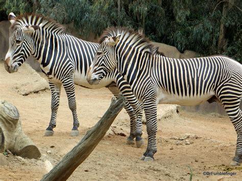 zebra decke a day at the zoo san diego california travelgumbo