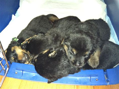 2 week rottweiler puppy 2 week rottweiler puppies pictures to pin on pinsdaddy