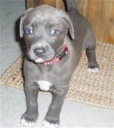 blue lacy puppies for sale cattle blue for sale breeds picture