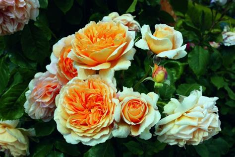 Englische Kaufen 179 by Set With 4 Different Climbing Roses