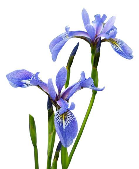 imagenes de flores iris cosas para photoscape im 193 genes para photoscape photoshop