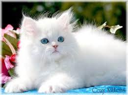 Boneka Kucing Sitt Cat Mio 10 kucing kucing lucu dari negeri raja boneka