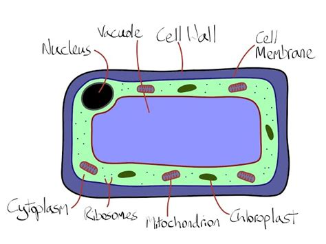 2d diagram of plant cell 1 cell structure national 5 biology
