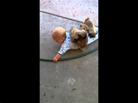 pug attacks baby pug puppies attack baby pug