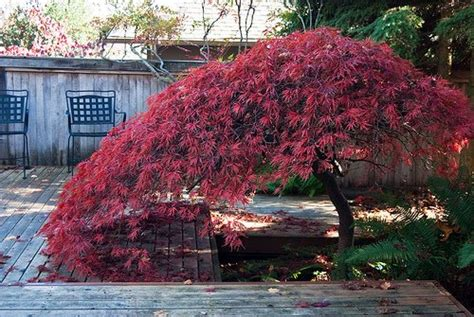 maple tree growing conditions japanese maples