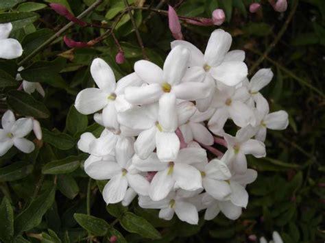 fiori gelsomino giardinaggio il giardino sul balcone gelsomino