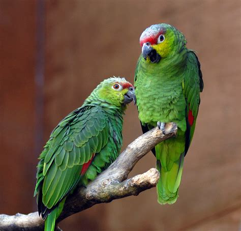 amazon parrot file amazona autumnalis lilacina chester zoo a pair 8a