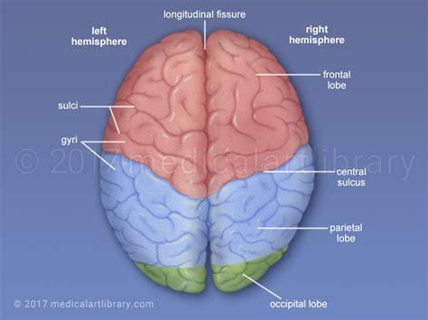 cerebral hemispheres medical art library