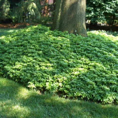 ground cover pachysandra landscaping  trees