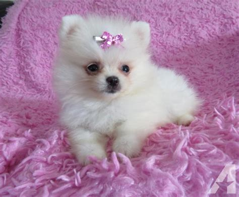 pomeranian puppies for sale missouri pomeranian puppies for sale in rolla missouri classified americanlisted