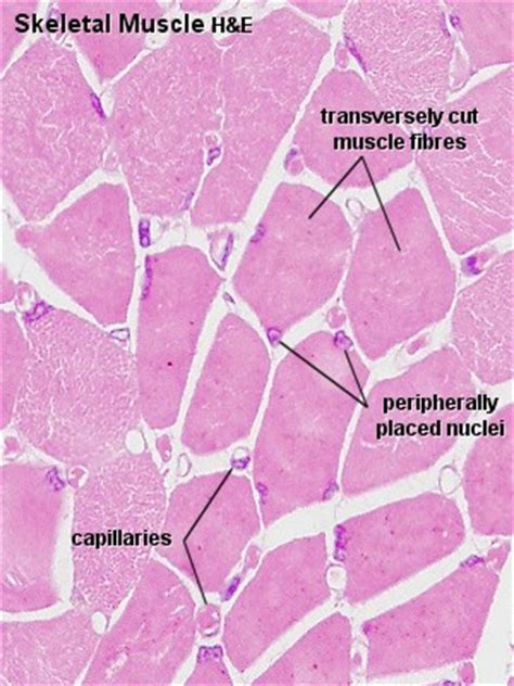 transverse section of skeletal muscle tissues