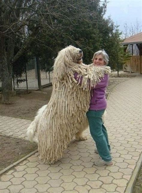 largest breed komondor top 10 large breed dogs laughspark