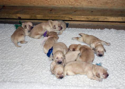 contented puppies glenbrier golden retrievers michigan