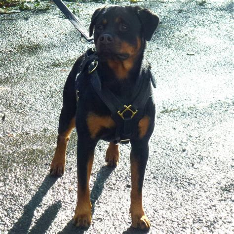 rottweiler harness rottweiler harness uk padded luxury leather design