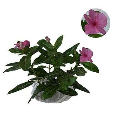 Pupuk Bunga Vinca jual tanaman tapak dara pink import tegak pink vinca