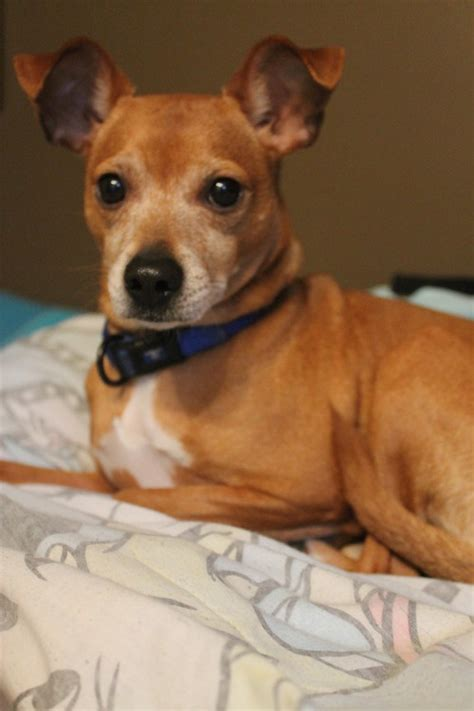 chihuahua pug mix characteristics whippet chihuahua mix pictures breeds picture