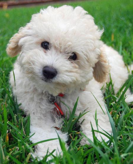 can dogs olive olive the poodle puppies daily puppy