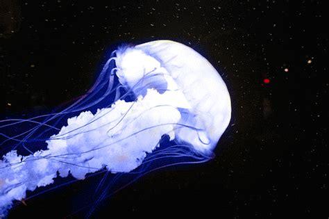 jellyfish wallpaper tumblr jellyfish gif on tumblr