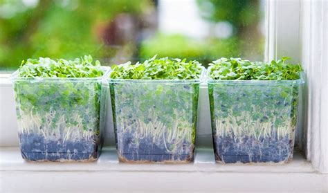 images  sproutingmicrogreens  pinterest