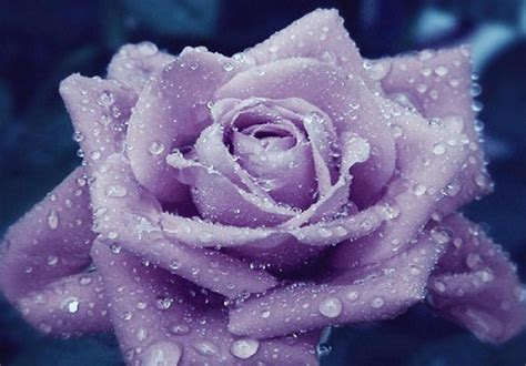 wallpaper flower rose blue flowers pictures flowers wallpapers blue roses wallpapers