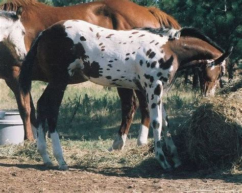 154 best images about coats of many colors for horses on coats western pleasure