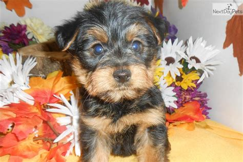 yorkies for sale in chicago yorkiepoo yorkie poo puppy for sale near chicago illinois c5f6bdbb d571
