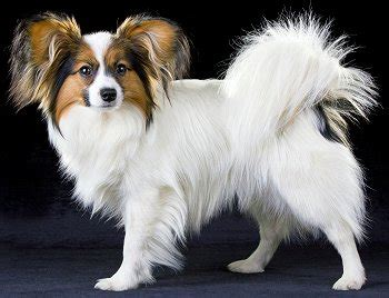 can you breed and dogs papillon www pixshark images galleries with a bite