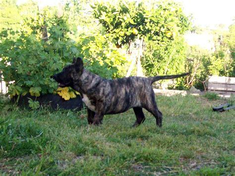 dog in the backyard cute cimarr 243 n uruguayo dog in the yard photo and wallpaper beautiful cute cimarr 243 n