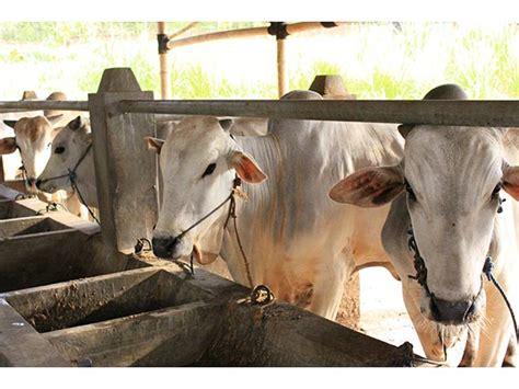 Jual Bibit Sapi Limosin Jawa Tengah dprd gunung kidul belajar ternak sapi po jual sapi