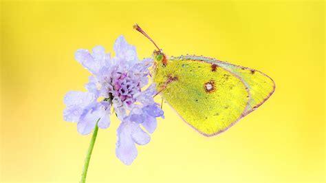 butterfly wallpaper for macbook 1920x1080 yellow butterfly desktop pc and mac wallpaper