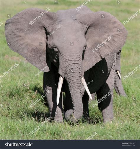 flapping ears elephant flapping ears cool stock photo 73201489
