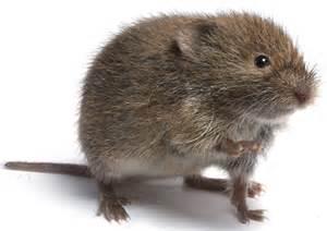 Pest Control For Garden - voles pinpoint pest control
