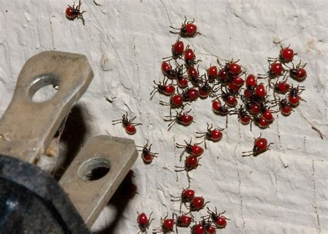 tiny red bugs in bed how do you get rid of bed bugs bites carpenter ants spray foam insulation tiny red