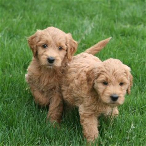 how much are goldendoodle puppies breed profile goldendoodle my boston